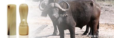オランダ水牛(牛角)